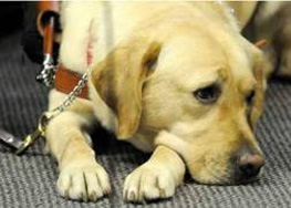 Virginia Jacko's new guide dog Kieran listens in on the beautiful music